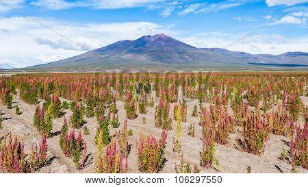 Quinoa Fields In The Bolivian Altiplano