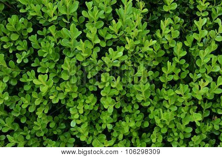Green background with evergreen shrub