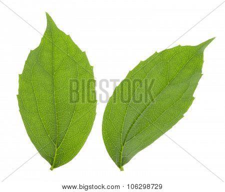 Jasmine Leaf Isolated On White Background