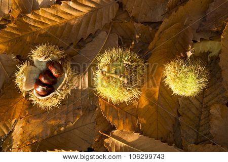 Three Chestnut Shells