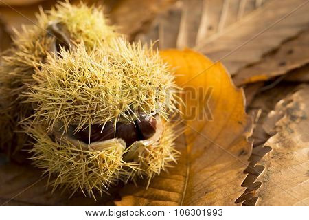 Close Up Of A Prickly Chestnut Shell