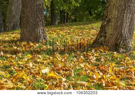 Leaves Falling From An Autumn Trees