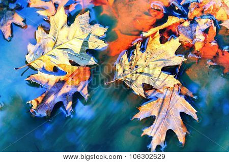 Autumn Background With Oak Leaves Floating On Water