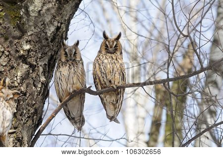 Two Long-eared Owls In Spring In Birch Forest