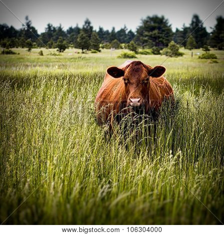 Wide grazer: Dairy cow in field staring at camera