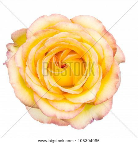 Yellow Rose With Blush Tips On White