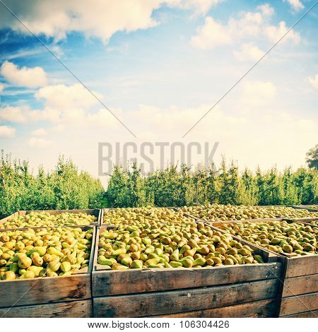 Freshly Harvested Pears In Wooden Crates