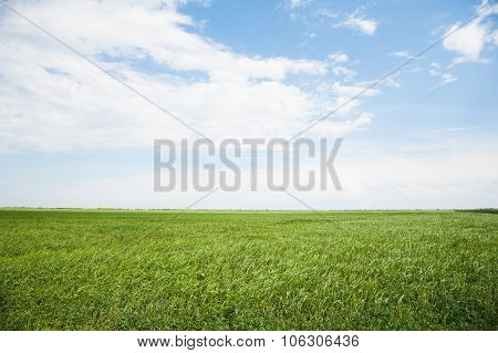 Field Of Winter Wheat Seedlings
