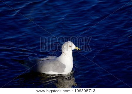 Beautiful Gull Is Moving Out Of Shadow
