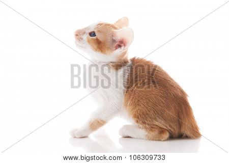 Little scary Siamese kitten isolated over white background