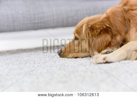 Closeup of dog sleeping on carpet at home