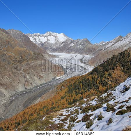 Aletsch Glacier And Golden Larch Trees
