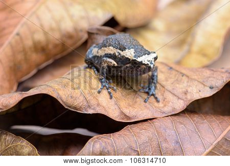 Frog On Old Brown Mango Leafs