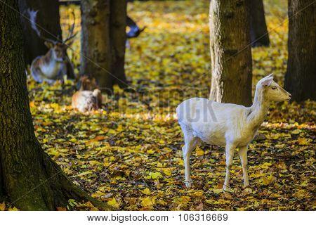 White fallow in autumn scenery.