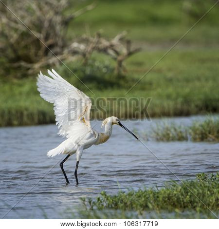 Eurasian Spoonbill In Bundala National Park, Sri Lanka