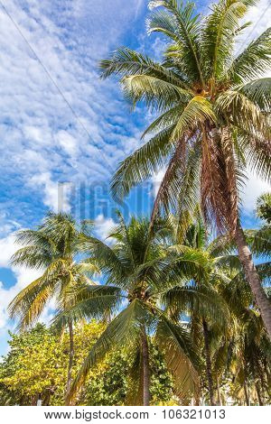 Palmtrees In A Sunny Day. Miami Beach, Florida