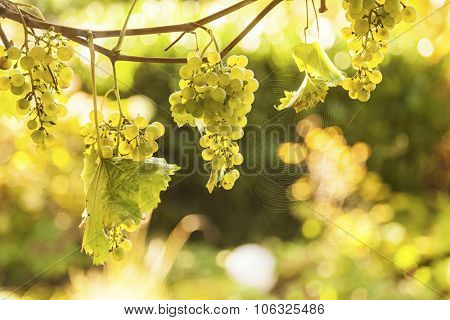 Ripe grapes hanging from vines, backlighting from sun