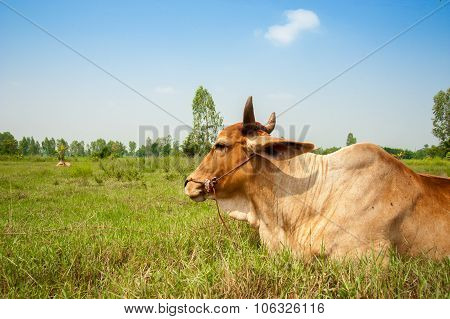Farming in Asia cattle and traditional farm animals