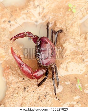 Freshwater Crab Animals Living In Rivers And Lakes Of  Asia Global Ecology
