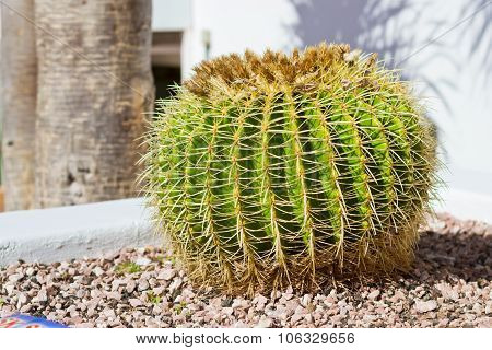 Huge Green Prickly Cactus In The Flower Bed, Tenerife, Canary Islands, Spain