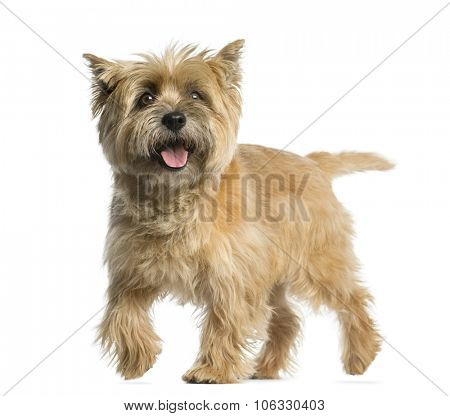 Cairn terrier walking in front of a white background