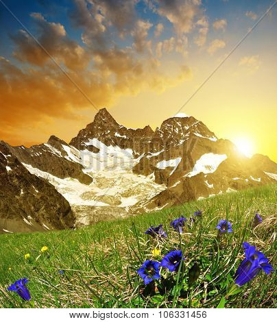 Beautiful mountain Gabelhorn at sunset in the foreground blooming gentian, Pennine Alps, Switzerland