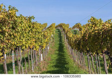 Vineyard Plantations In Austria