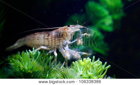 Shrimp of the genus Atiopsis