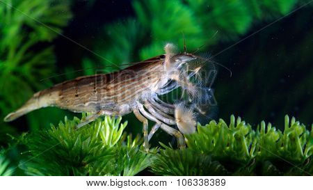 Shrimp of the genus Atiopsis