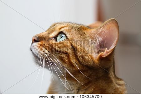 Bengal Cat Head in Profile