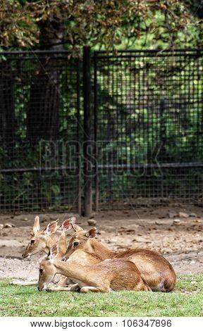Eld's Deer (panolia Eldii), Animal Scene