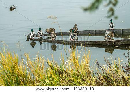 Wild Ducks Sit On The Sunken Boat