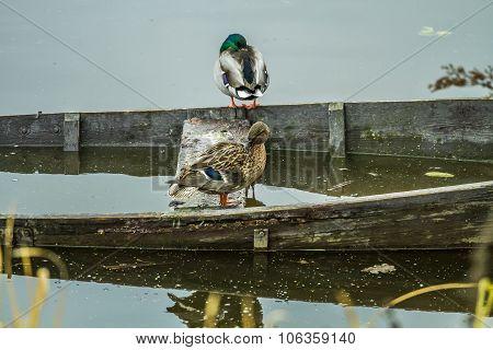 Ducks Sit On Boat