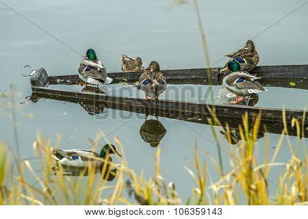 Many Wild Ducks
