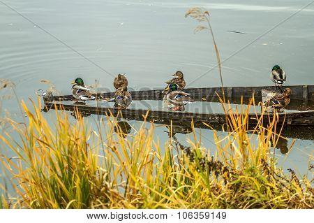 Wild Ducks In Riwer