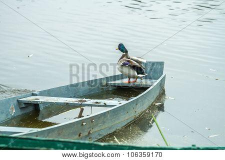 Ducks In Boat