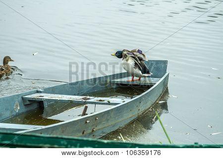 Ducks In Old Boat