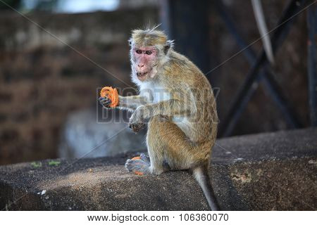 Monkeys In The Living Nature . Country Of Sri Lanka