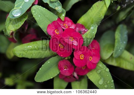Red Euphorbia Milii Flowers Blooming And Refreshing Drops Of Dew In The Morning. Crown Of Thorns, Ch