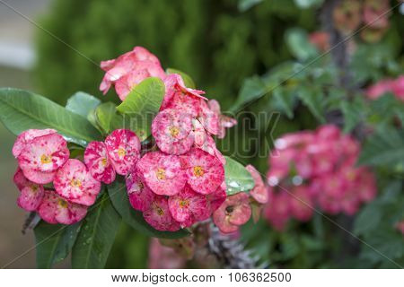 Pink Euphorbia Milii Crown Of Thorns, Christ Thorn,poi Sian Flower Blooming And Refreshing Drops Of