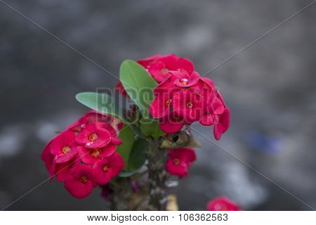 Red Euphorbia Milii Crown Of Thorns, Christ Thorn,poi Sian Flowers Blooming.