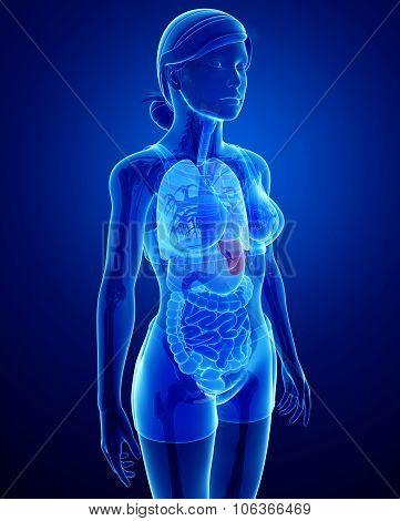 Female Spleen Anatomy