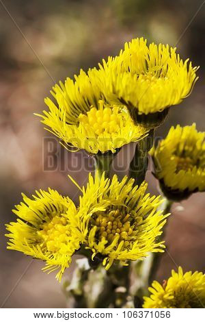 Flowering plants Tussilago