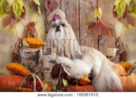 shih tzu and pumpkins on an autumn background
