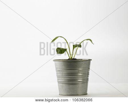 choy sum growing from the  aluminium pot