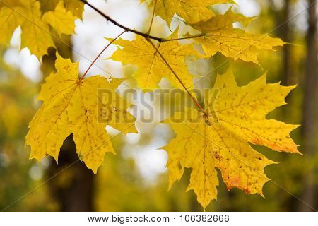 autumn, season and nature concept - close up of maple leaves on brunch outdoors