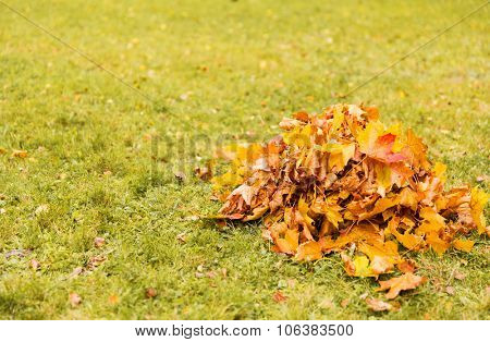 autumn, season and nature concept - heap of fallen maple leaves on grass