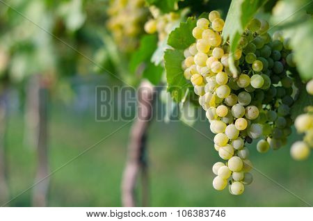 Ripe white grapes.