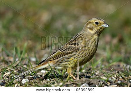 Mrs Yellowhammer