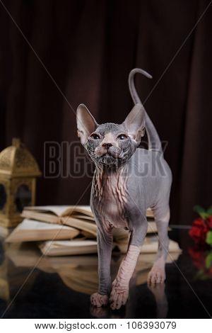 Sphynx Kitten Portrait